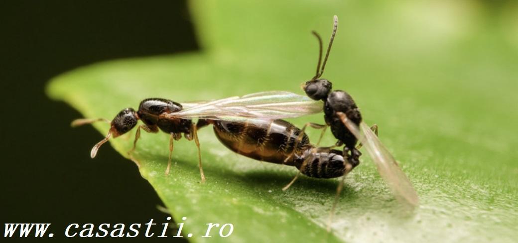 Reproducerea furnicilor