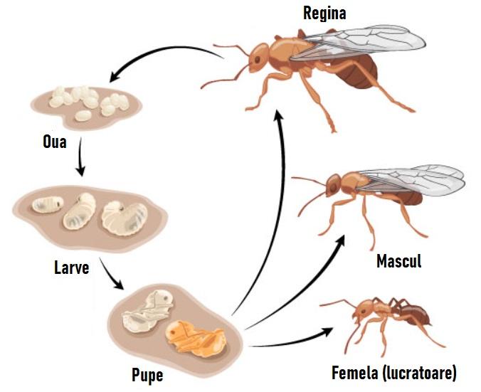 Tipuri de furnici, oua larve, pupe, adult, femel, mascul